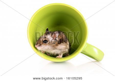 Young hamster in green cup isolated on white
