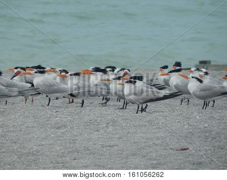 A flock of Caspian Terns at Venice Beach, Florida