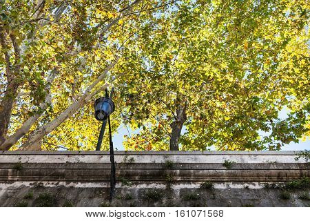 Yellow Sycamore Trees Over Walls Of Tiber River