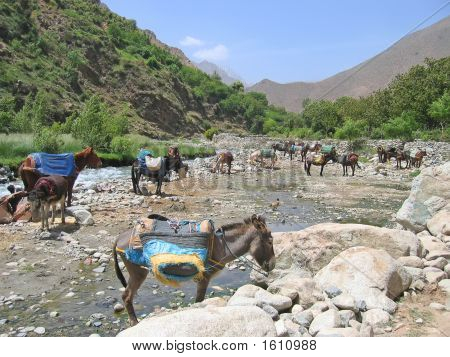 Donkeys Having Some Rest On A River In The Mountains, Setti Fadma Atlas, Ourika Valley, Morocco