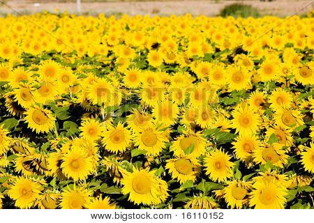 sunflower field, Zamora Province, Castile and Leon, Spain