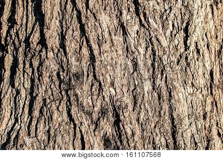 Detailed texture of lit poplar bark. Image of the old large poplar trunk close up without distortion.