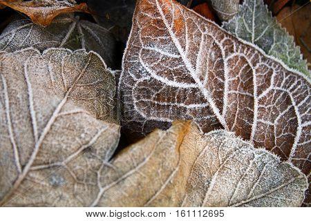 Autumn leaves coated in hoar frost in winter