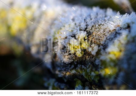 A lichen covered branch under a layer of hoar frost
