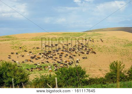 Herd Of Cows In Steppe