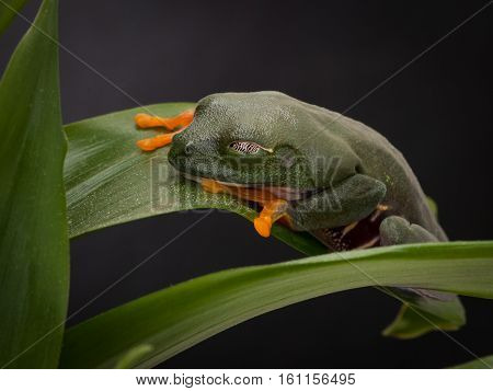 Tree frog sleeping on the large sheets. Green tree frog with orange legs