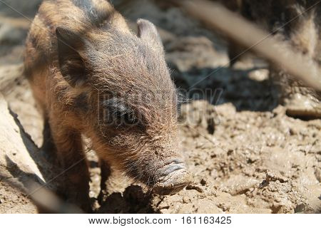 Young wild boar in the forest, animal