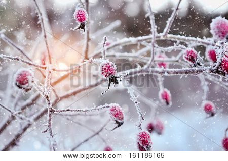 Red rosehip berries with hoar frost. Winter background