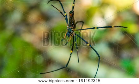 Nephila maculata on spider net, Gam Island, West Papuan, Raja Ampat. Indonesia