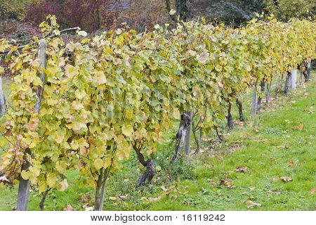 Roter Traminer, Eberbach, Hessen, Germany