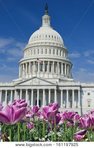 The Capitol dome with tulips foreground - Washington DC, United States of America
