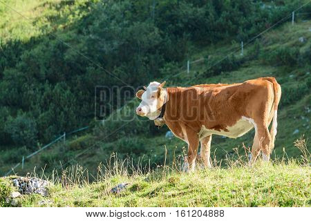 Highlands Alpine Pasture With Fresh Grass And Hereford Breed Cow