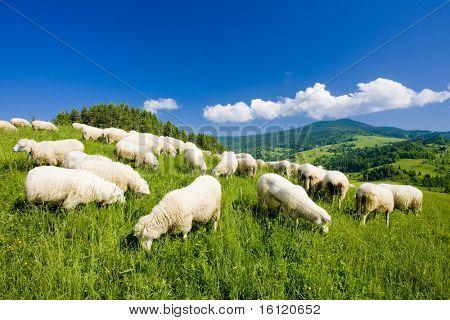rebanho de ovelhas, Mala Fatra, Eslováquia