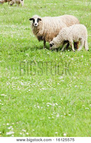 sheep with a lamb, Bosnia and Herzegovina