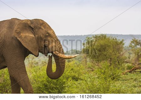 african bush elephant walking in a green savannah in Kruger