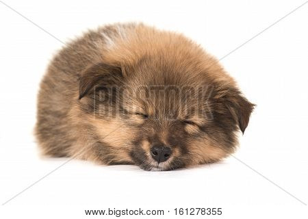 Sleeping shetlands sheepdog sheltie puppy with eyes closed seen from the front isolated on a white background