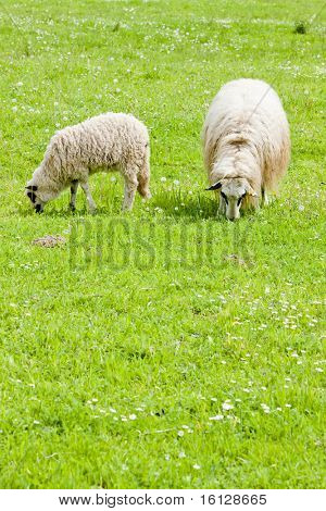 sheep with a lamb on meadow, Bosnia and Hercegovina