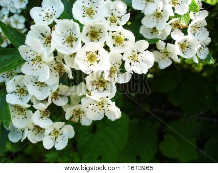 White Flowers Of The Hawthorne Bush