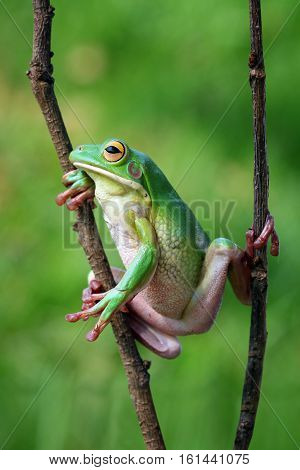 Tree frog, white lips, adorable, cute,  frog