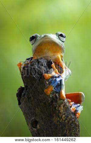 Tree frog, beautiful Javan tree frog monitoring on the top