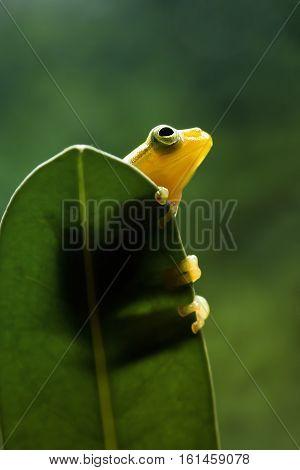 Tree frog, beautiful tree frog philautusnvittiger yellow