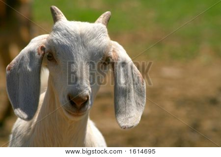 Nubian Goat Kid With Horns