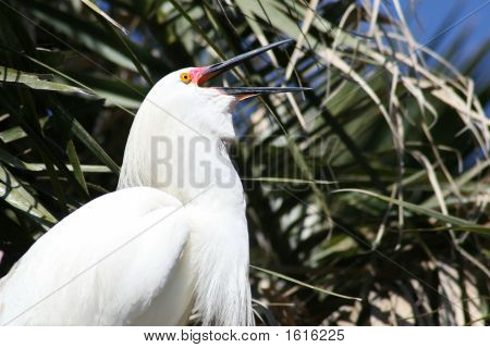 Snowy Egret Vocalizing