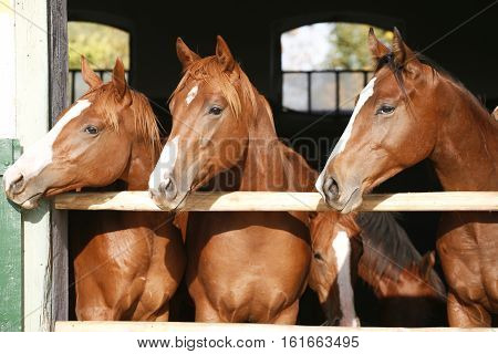 Purebred anglo-arabian chestnut horses standing at the barn door