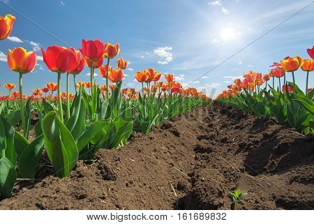 Meadow of tulips. Composition of nature.