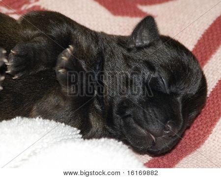Sleeping Newborn Puppy