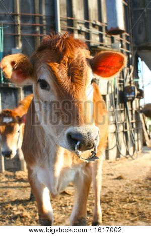 A Punk Rock Jersey Cow With A Nose Ring