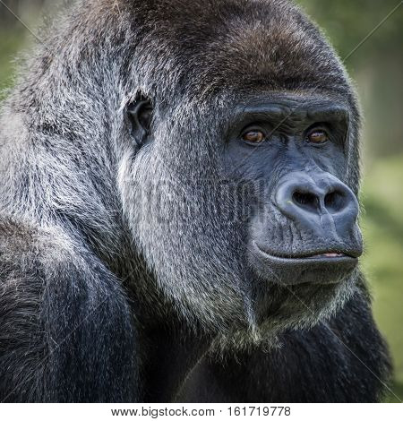 A very close square format portrait of a stern inquisitive looking silverback gorilla looking directly at the viewer