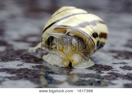 White Lipped Garden Snail