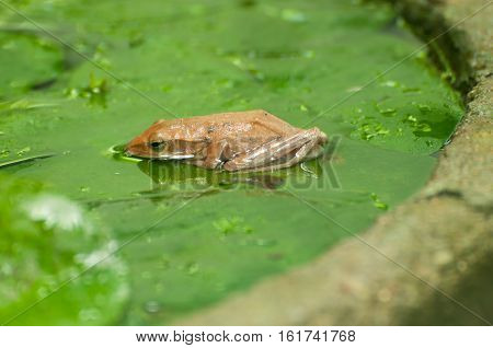 Tree frog on the lotus leaf in the pond