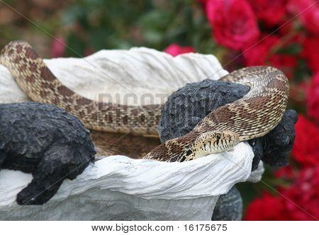 Bull Snake in birdbath