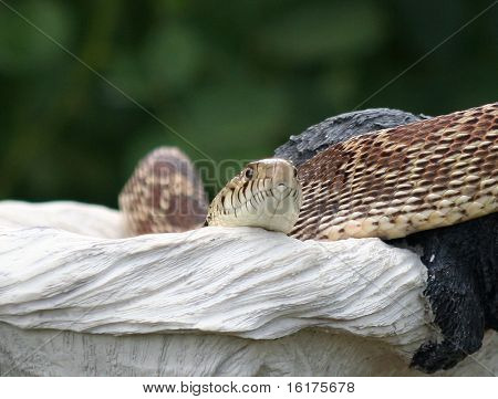 Bullsnake (Gopher snake)