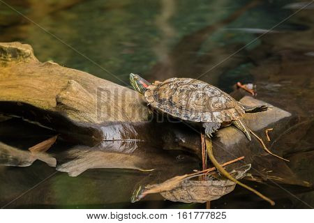 Red-eared slider, red-eared terrapin turtle with red stripe near ears resting on wooden log above water (Trachemys scripta elegans)