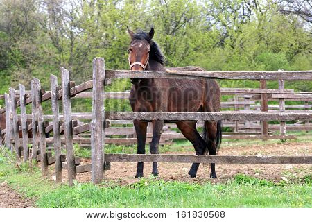 Thoroughbred purebred horse stands in a rustic wooden pen irural scene early summer