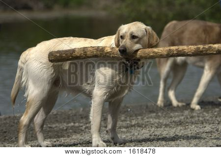 Yellow Lab With Stick