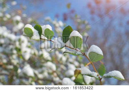 Branch and leafs in snow. Nature composition.