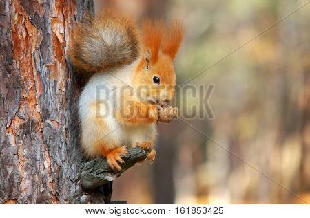 Squirrel on the tree eating nut. Wild and nature composition.
