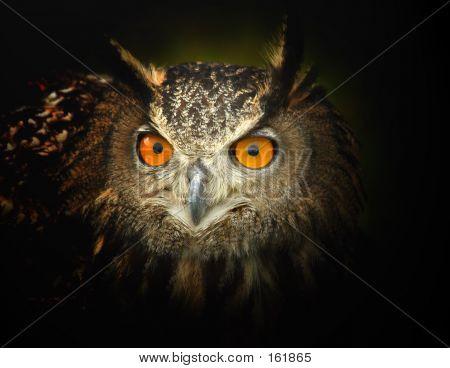 Alert Eagle Owl