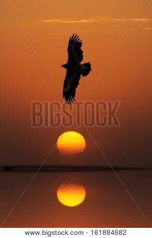 Steppe Eagle (Aquila nipalensis) flying against evening sky Uzbekistan