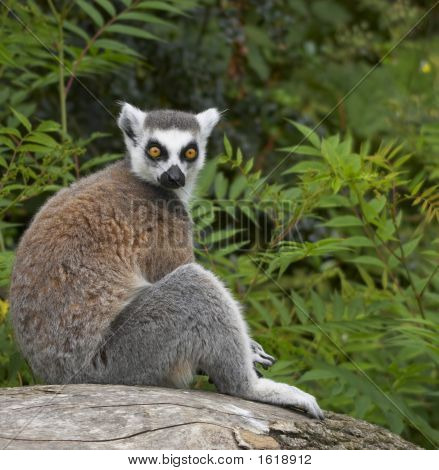 Ringed-Tailed Lemur