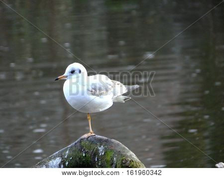 Black headed Gull in winter plumage, standing on one leg
