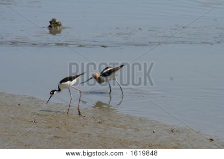 Avocet With Black Necked Stilt