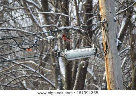 Electrical wires covered with snow and ice in winter surrounded by tree branches and trees with s red cardinal on the wire winter safety concept and tree trimming