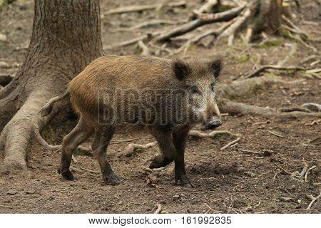 Russia,Karelia, wild boar runs in the zoo.