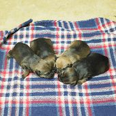 picture of border terrier  - puppies  - JPG