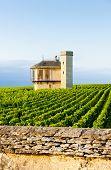 stock photo of clos  - vineyards of Clos Blanc De Vougeot Castle - JPG